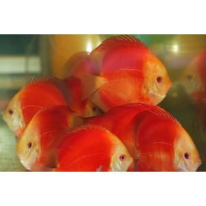 Super Red Melon 12-13 cm