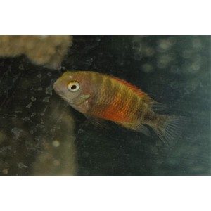 "Tropheus moorii ""Bemba orange"""